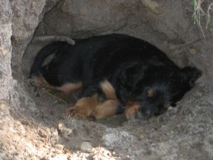 Digging is hard work! Even free range puppies need a nap now and then. 6 weeks old.