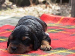 Puppy 5 at two weeks - female